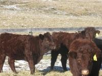 Jaunty Heifers 45 Weeks